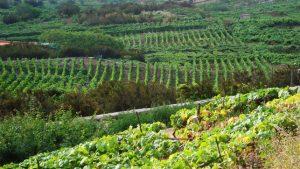 Terrenos de agricultura ecológica en Santa Úrsula (Tenerife)
